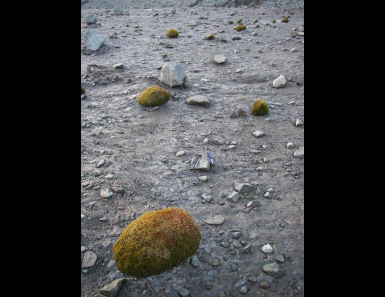 Glacier mice, or moss balls, on the Root Glacier near McCarthy. Photo by Tim Bartholomaus.