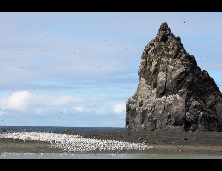 A flock of gulls or kittiwakes on Bogoslof Island during a visit by scientists in August, 2018. Photo by Gabrielle Tepp, Alaska Volcano Observatory/U.S. Geological Survey.