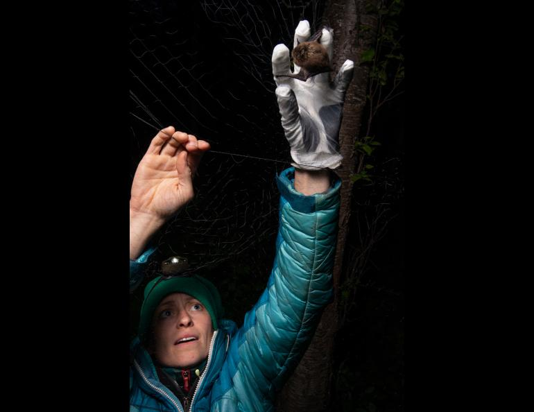 Biologist Jesika Reimer removes a little brown bat from a mist net on Joint Base Elmendorf-Richardson in 2018. Photo by James Evans, University of Alaska Anchorage.