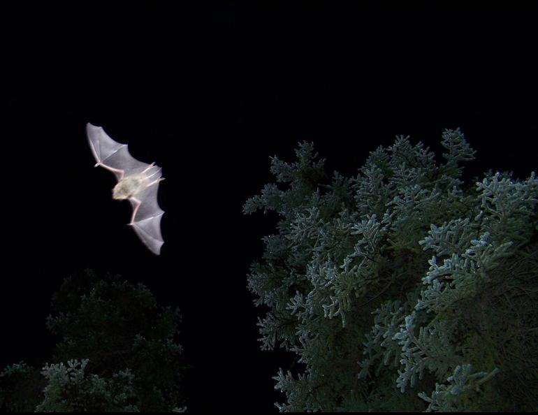 Alaska's most common bat: Myotis lucifugus, the little brown bat, photographed near Haines Junction in the Yukon. photo by Lea Randall.