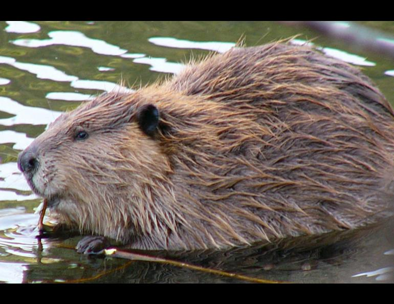 Beavers live from northern Mexico to northern Alaska. Photo by Frank Zmuda, Alaska Department of Fish and Game.