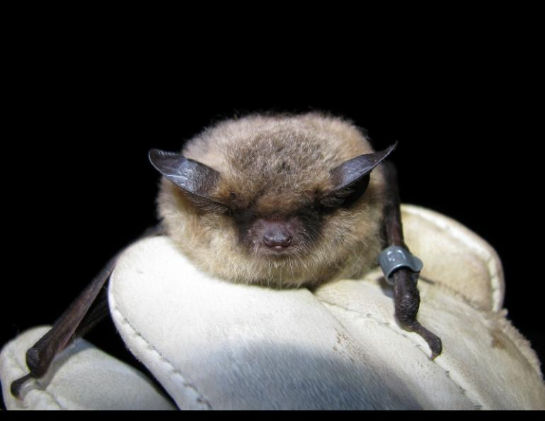 A little brown bat photographed by biologist Jesika Reimer.