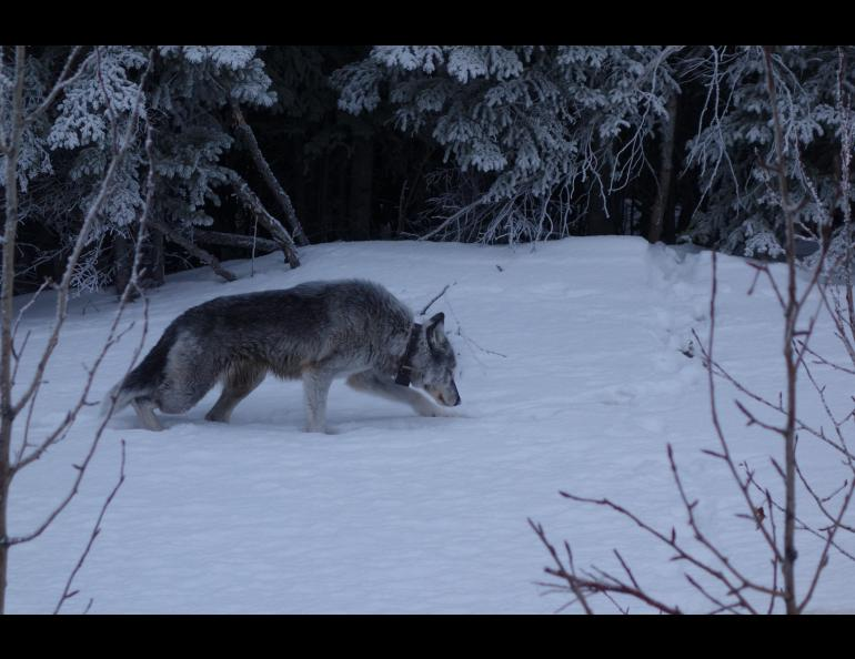 A 9-year-old female wolf with a satellite collar limps alongside the highway near Denali National Park in February, 2019. Photo by Ned Rozell.