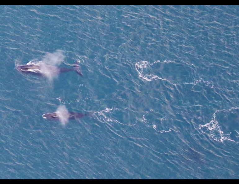 Bowhead whales off the coast of northern Alaska in fall 2020. NOAA biologist Amy Willoughby took this photo during an airplane survey of the whales. Photo by Amy Willoughby.