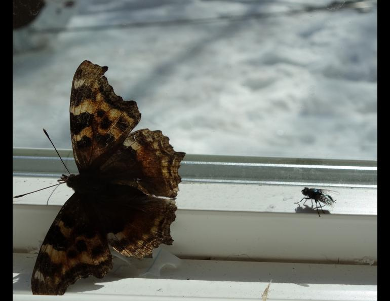 A Compton tortoiseshell butterfly and a housefly just released from dormancy by warm spring air. Photo by Ned Rozell.