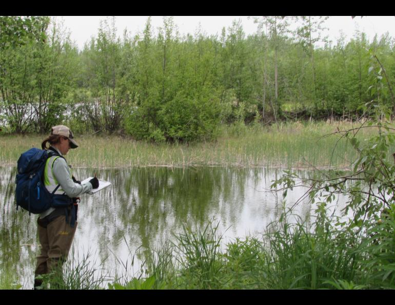 Biologist Kristen Rozell does a bird survey in Fairbanks on an early morning in June. Photo by Ned Rozell.