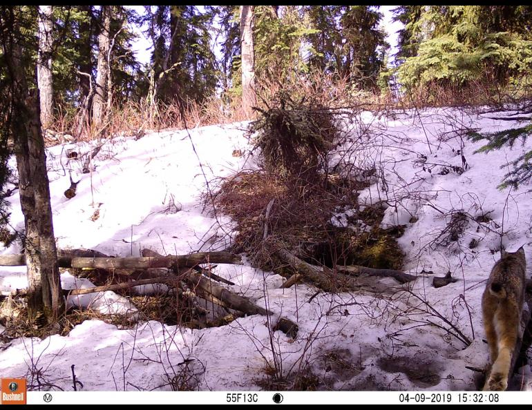 A lynx caught on trail camera. Photo by Ned Rozell.