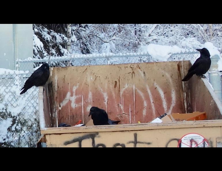 Ravens at a dumpster in Fairbanks at 10 below zero. Photo by Ned Rozell.