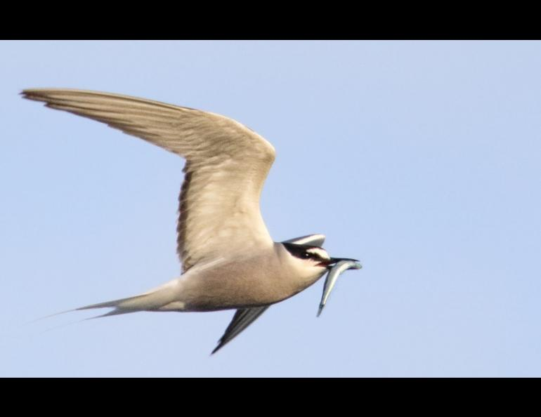An Aleutian tern in Yakutat. Photo by Nate Catterson.