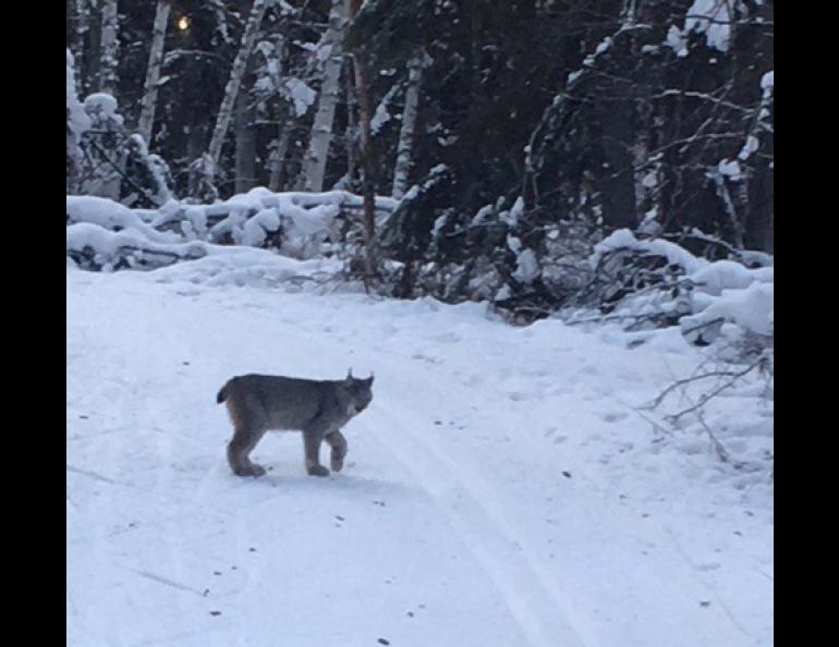 """Since 1987 I've never seen a Lynx on those trails,"" said Cheryl Weber of Fairbanks of her lynx sighting on Fairbanks' Skarland Trail. ""But I'd like to think maybe they have seen me in the past."""
