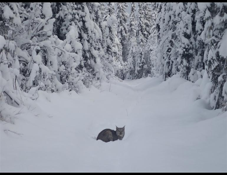 Jack Wilbur of Fairbanks captured this image of a lynx on one of his favorite ski trails.