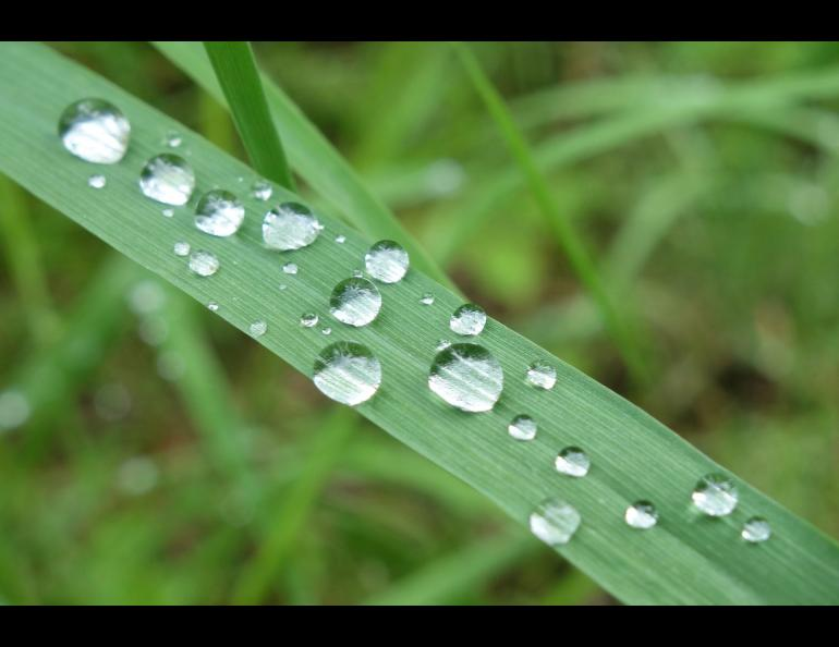 Water droplets on a blade of grass and following a rainy period in Interior Alaska. Photo by Ned Rozell.