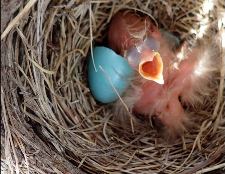 A robin chick in a nest near the middle fork of the Chandalar River. Photo by Ned Rozell.