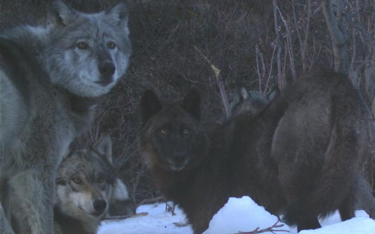 "1. Four members of the Riley Creek wolf pack, including the matriarch, ""Riley,"" dig a moose carcass frozen from creek ice in May 2016. National Park Service trail camera photo."