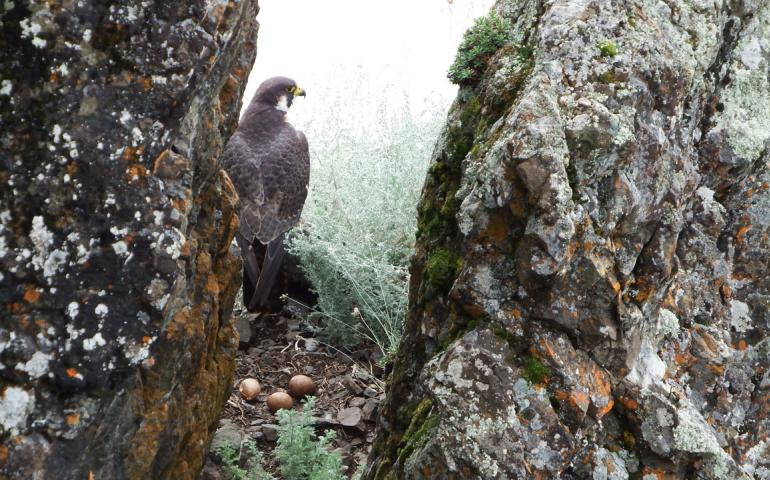 A peregrine falcon with eggs on a ledge on the upper Yukon River. Photo by Skip Ambrose.