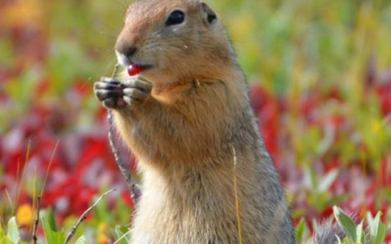 An arctic ground squirrel eats a berry on Alaska's North Slope. Photo by Cory Williams.