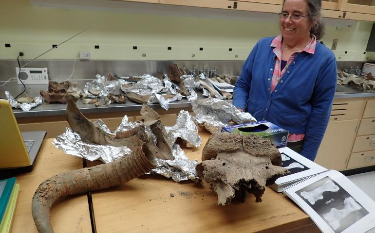 Pam Groves of the University of Alaska Fairbanks looks at bones of ancient creatures she has gathered over the years from northern rivers. The remains here include musk oxen, steppe bison and mammoth. Photo by Ned Rozell.
