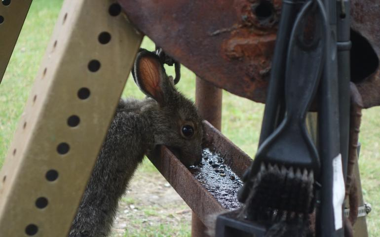 A snowshoe hare in Wiseman licks the drippings tray from Clutch Lounsbury's grill. Photo by Ned Rozell.