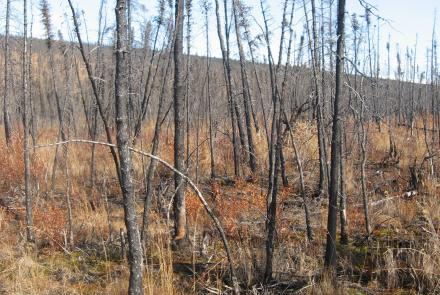 At Nome Creek, Alaska ground temperatures rose immediately after a 2003 wildfire. New research from Sergey Marchenko shows wildfires, which affect terrestrial carbon storage, result in significant changes in permafrost zones. Photo by Sergey Marchenko.