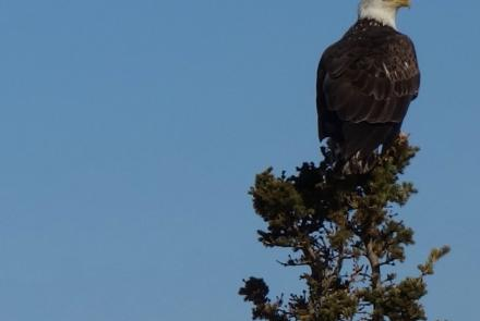 A bald eagle that recently migrated back to middle Alaska. Photo by Ned Rozell.