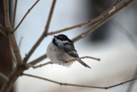 A black-capped chickadee on a cold Alaska day. Photo by Jim DeWitt.