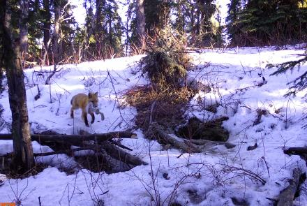 A male red fox returns to a den with a snowshoe hare. Photo by Ned Rozell.