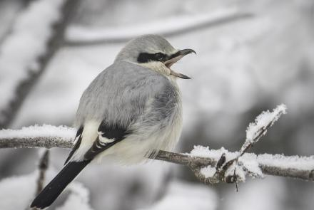 A northern shrike in the yard of John Wright of Fairbanks. Photo by John Wright.