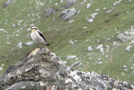 A northern wheatear in the Kokrines Hills of Interior Alaska. Photo by Ned Rozell.