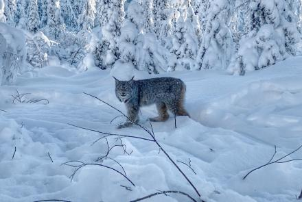 A lynx in Interior Alaska's Tetlin National Wildlife Refuge. Photo by Alex Ellsworth.