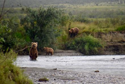 A grizzly bear sow and cubs that are fishing for chum salmon in Gates of the Arctic National Park and Preserve, northern Alaska. National Park Service photo by Matt Cameron.