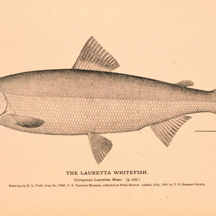 A drawing of a Bering cisco, also known as a Lauretta whitefish, created by H.L. Todd in July 1880. Public domain image from the Natural History of Useful Aquatic Animals, NOAA photo library.