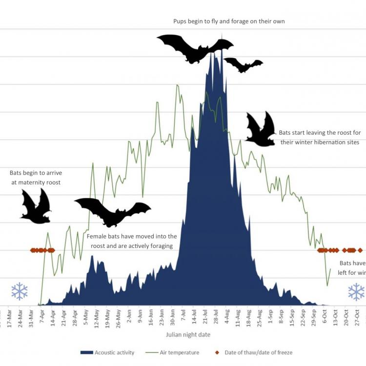 Biologist Jesika Reimer of Taiga Wildlife Research in Anchorage created this graphic showing the summer activity of little brown bats in northern Alaska.